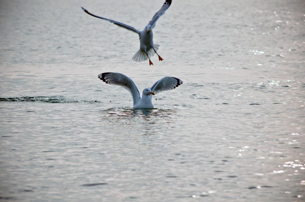 "фото ""чайки"" метки: природа, море, чайки"