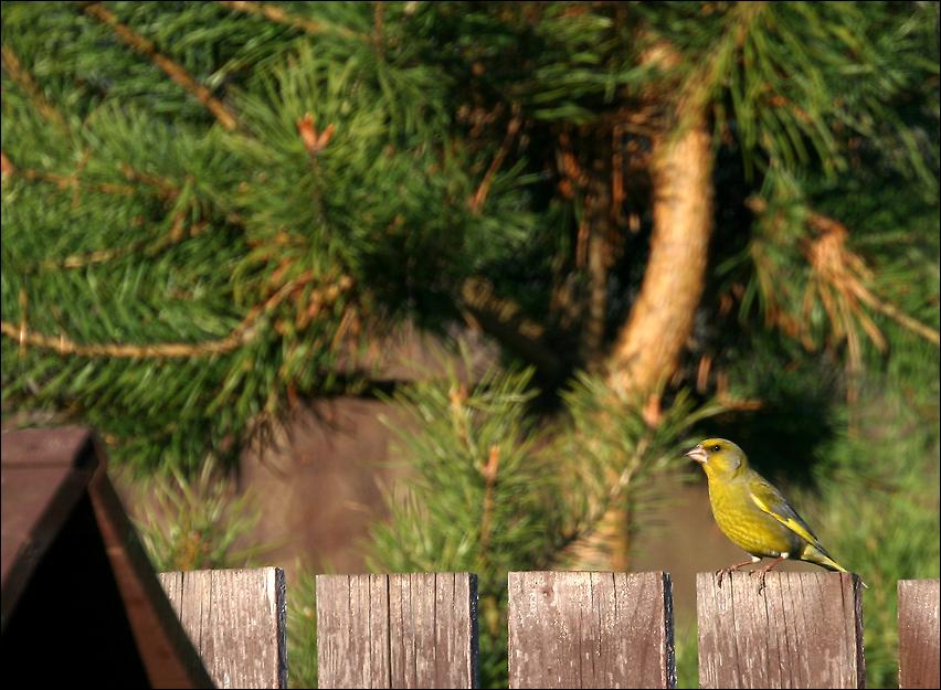 """фото """"Вечнозелёные"""" метки: природа, Зеленушка"""