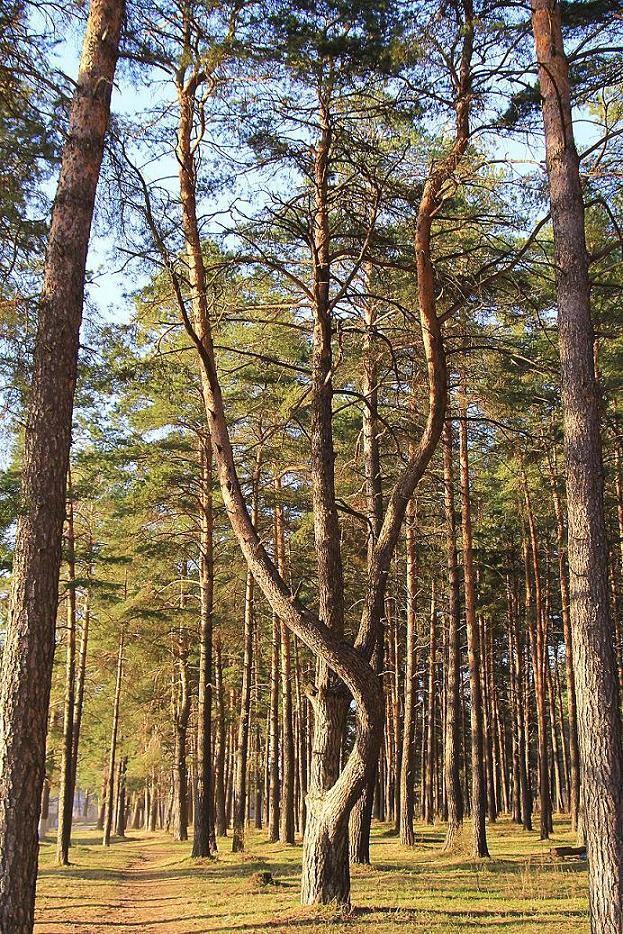 """фото """"""""Змей Горыныч"""""""" метки: природа, дерево, лес, сосна"""