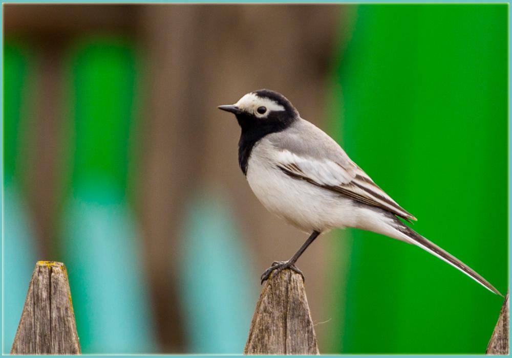 "фото ""Motacilla alba"" метки: природа, птица, сибирь"