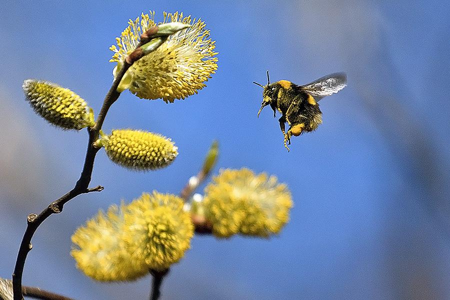 """фото """"полёт шмеля"""" метки: природа, макро и крупный план, Сибирь шмель, верба, весна, красиво, насекомое, пчела"""
