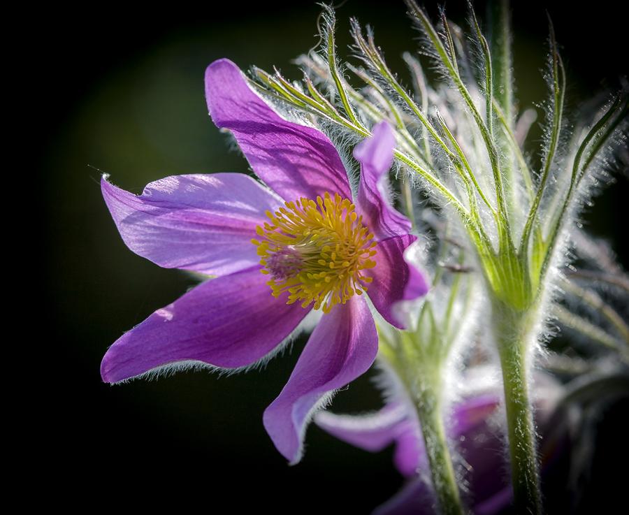 "photo ""***"" tags: macro and close-up, nature, flowers, light, spring, sun, первоцветы, цветок"