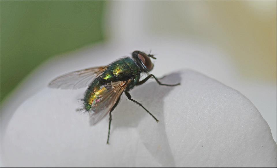 "photo ""Fly On Rose"" tags: nature, macro and close-up,"