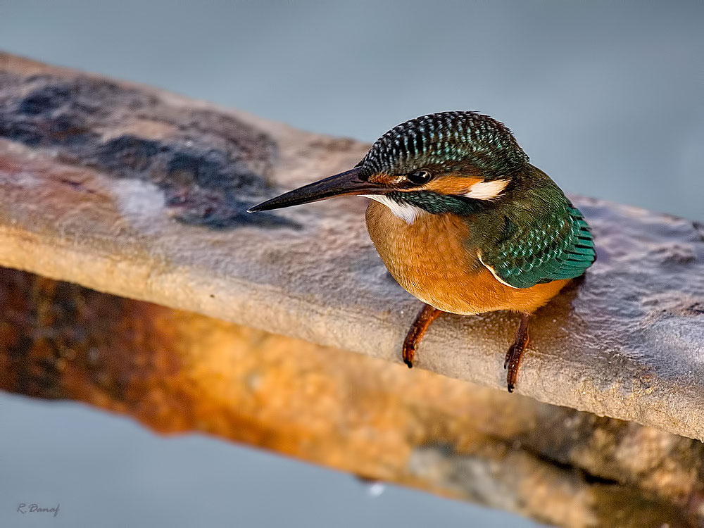"photo ""King fisher 04"" tags: nature, bird"