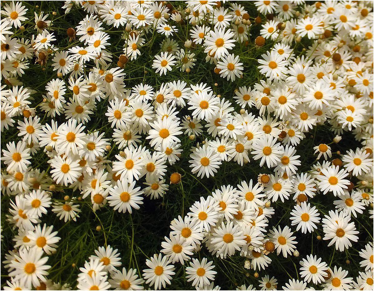 """фото """"Скатерка"""" метки: природа, ox-eye daisy, ромашки"""
