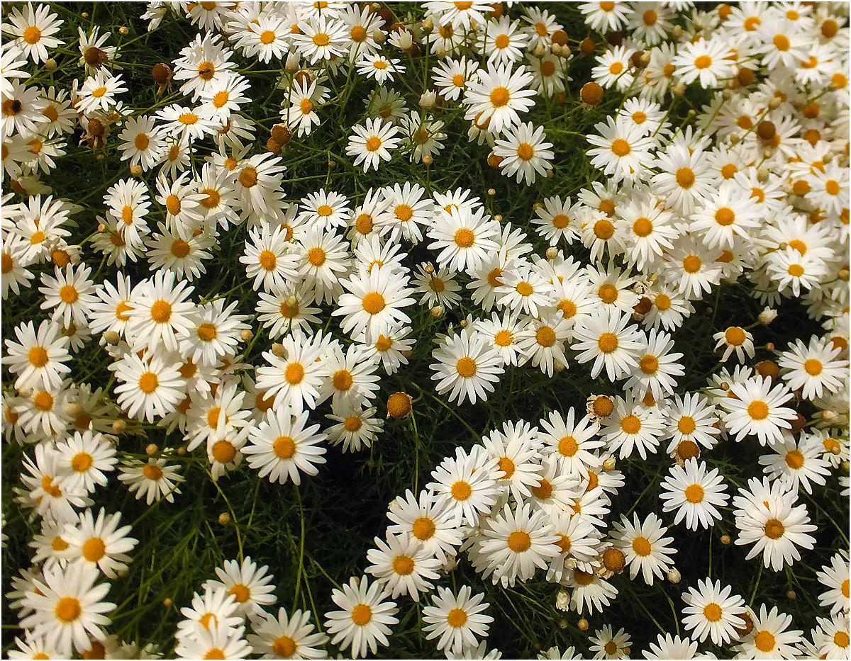 "photo ""Table-cloth"" tags: nature, ox-eye daisy, ромашки"