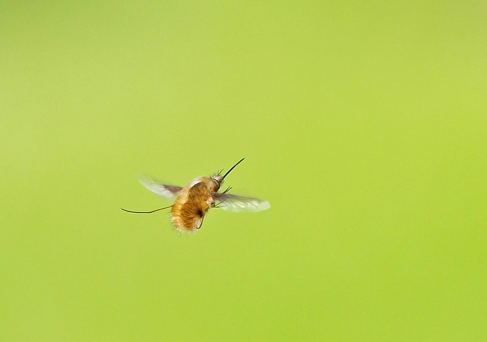 "photo ""Bombyliidae"" tags: nature, macro and close-up, portrait,"