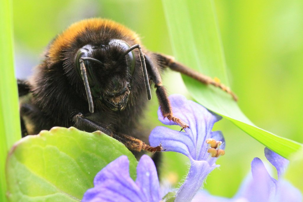 "photo ""Bombus"" tags: macro and close-up, bombus"