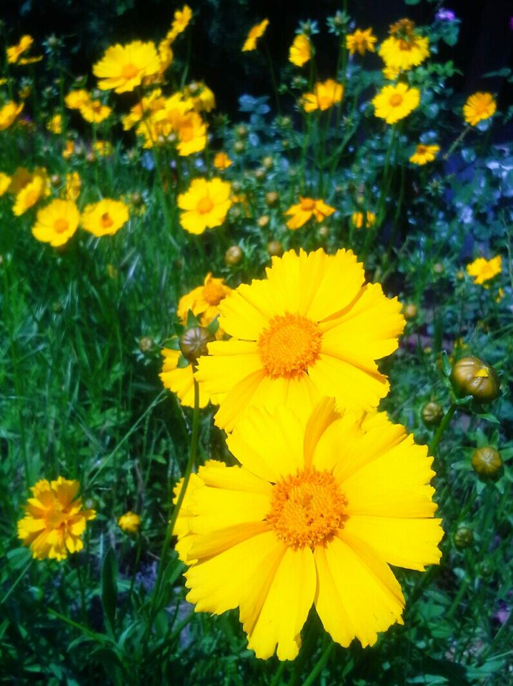 "photo ""Yellow Daisies"" tags: nature, macro and close-up,"