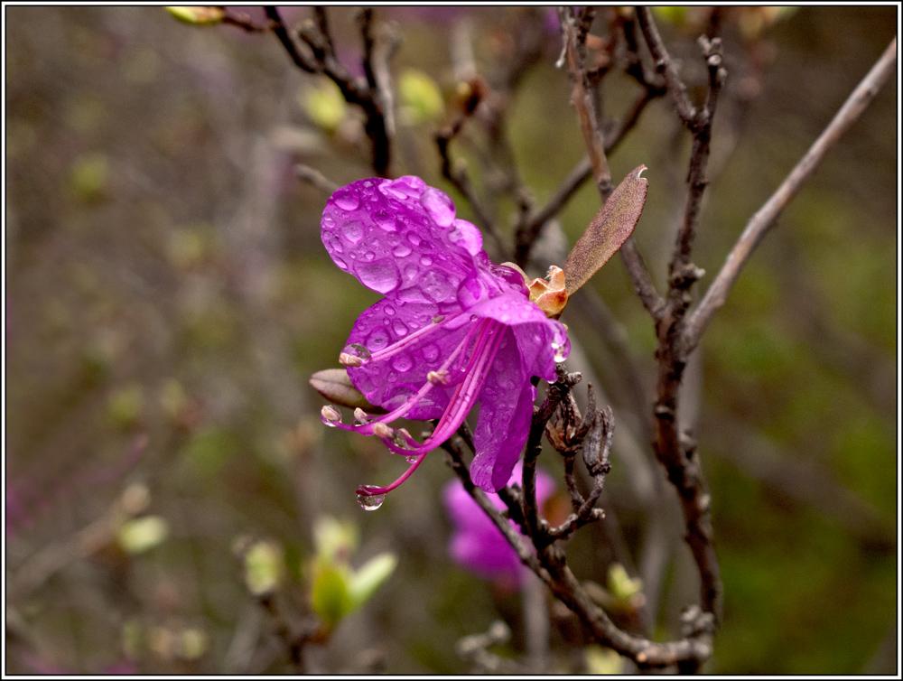 """фото """"Краски тайги"""" метки: макро и крупный план, природа, весна, цветы."""