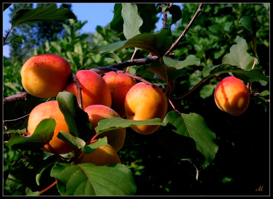 "photo ""Enjoy your apricots"" tags: nature,"