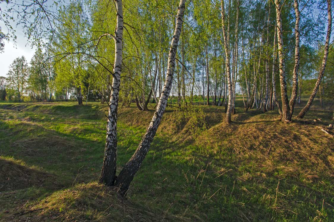 "photo ""***"" tags: landscape, birches, evening, spring"