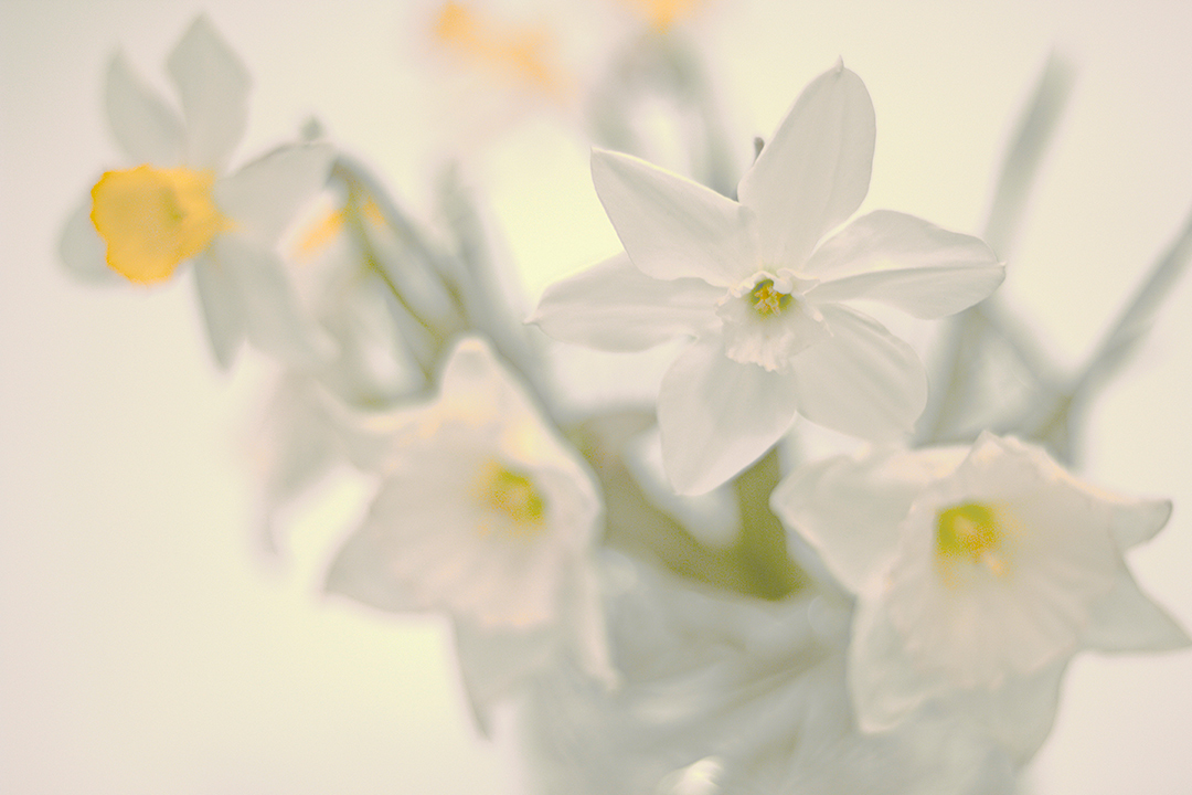 "photo ""Daffodils"" tags: macro and close-up, still life,"