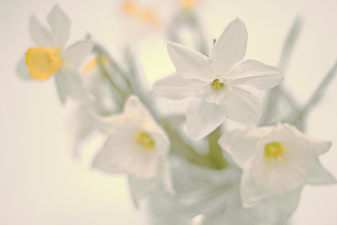 """фото """"Нарциссы"""" метки: макро и крупный план, натюрморт,"""