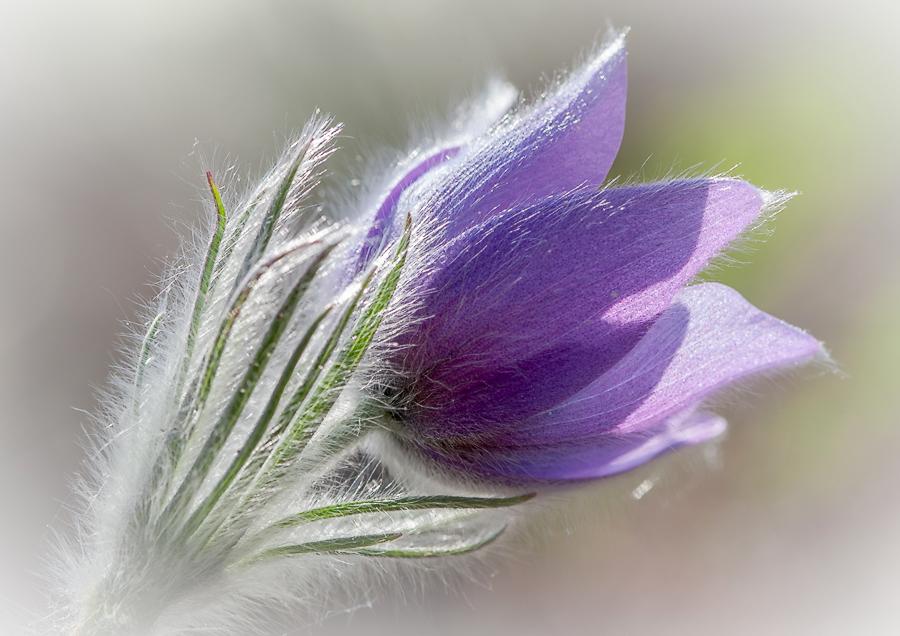 """фото """"a dream"""" метки: природа, макро и крупный план, весна, первоцветы, цветок"""