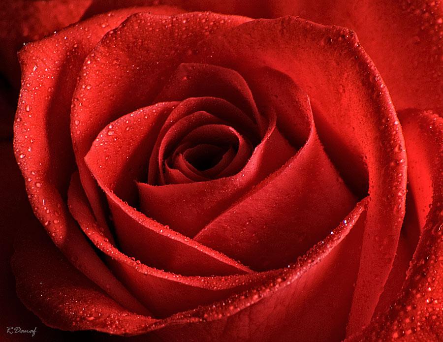 """фото """"A Rose"""" метки: природа, макро и крупный план,"""