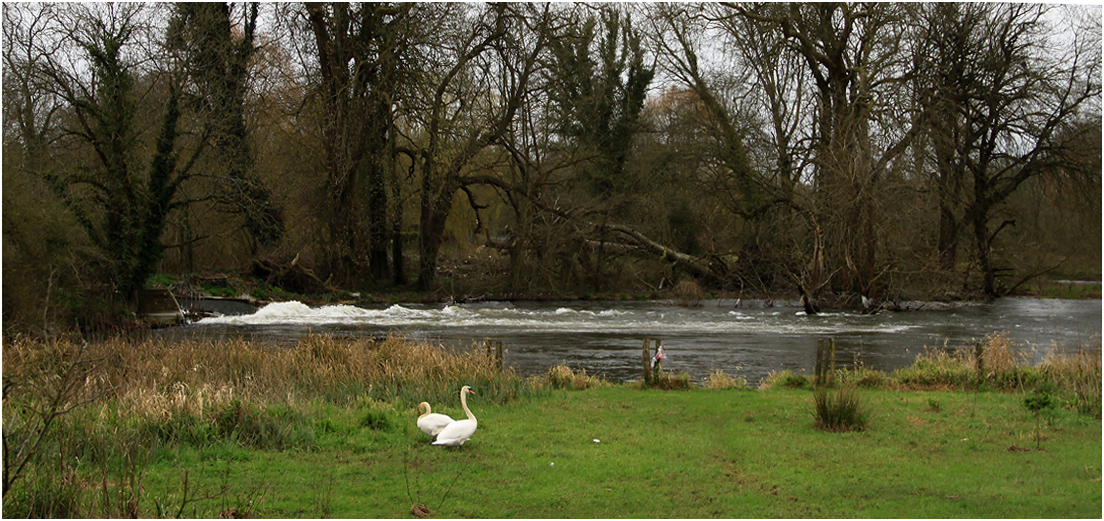 "фото ""Пейзаж с лебедями на фоне речки."" метки: природа, весна, вода, дерева, лебеди"