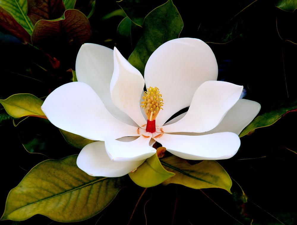"photo ""Magnolia..."" tags: nature, macro and close-up,"