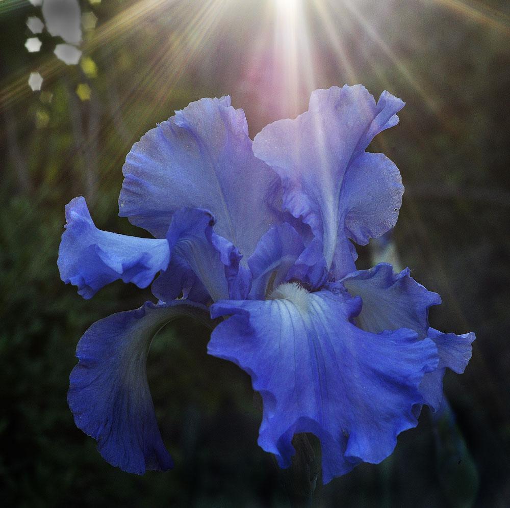 "photo ""***"" tags: nature, цветок Ирис"