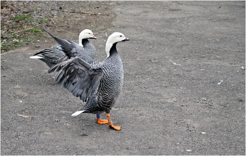 "photo ""***"" tags: nature, гусь, дикие животные птицы"