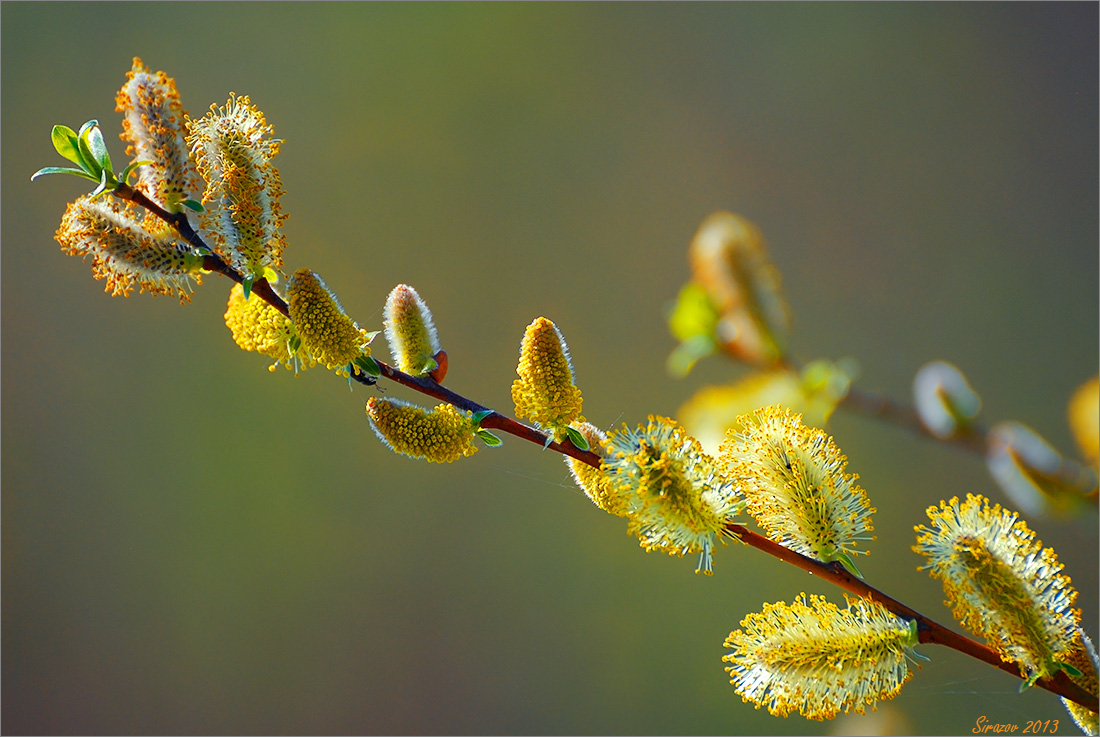 "photo ""Pussy-willow"" tags: nature, macro and close-up,"