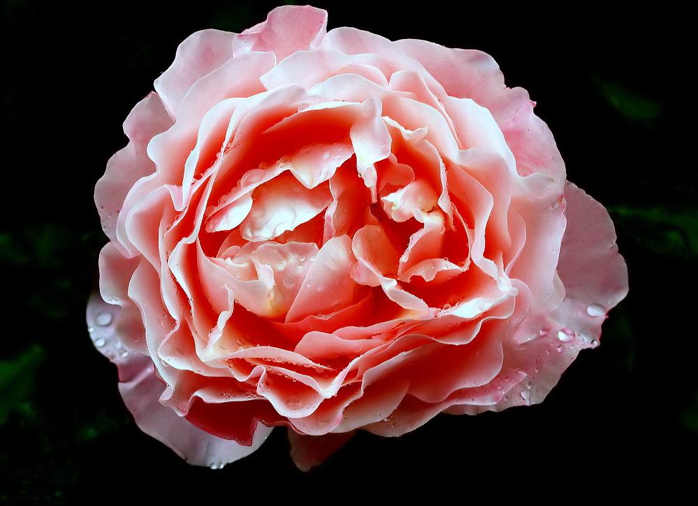 """фото """"""""Rose..."""""""" метки: природа, макро и крупный план,"""
