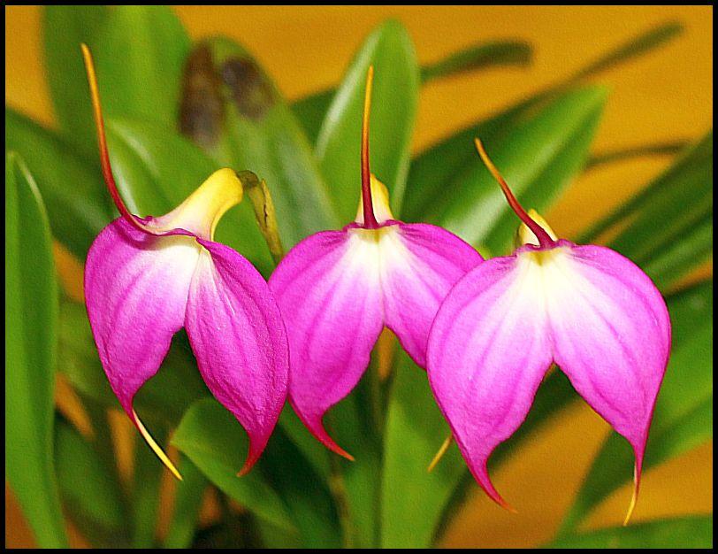 """photo """"Three Sisters. (Masdevallia Lynne Sherlock)"""" tags: nature, flowers"""