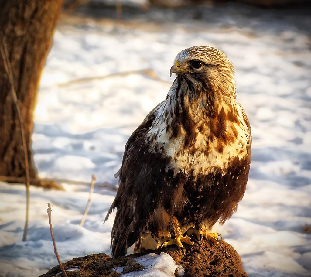 Хищные птицы якутии фото