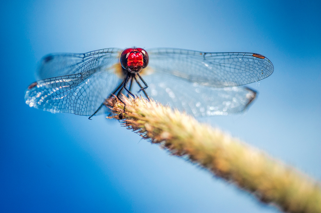 """photo """"Dragonsky"""" tags: macro and close-up, nature, Belgium, clouds, dragonfly, red, wheat, wild animals"""