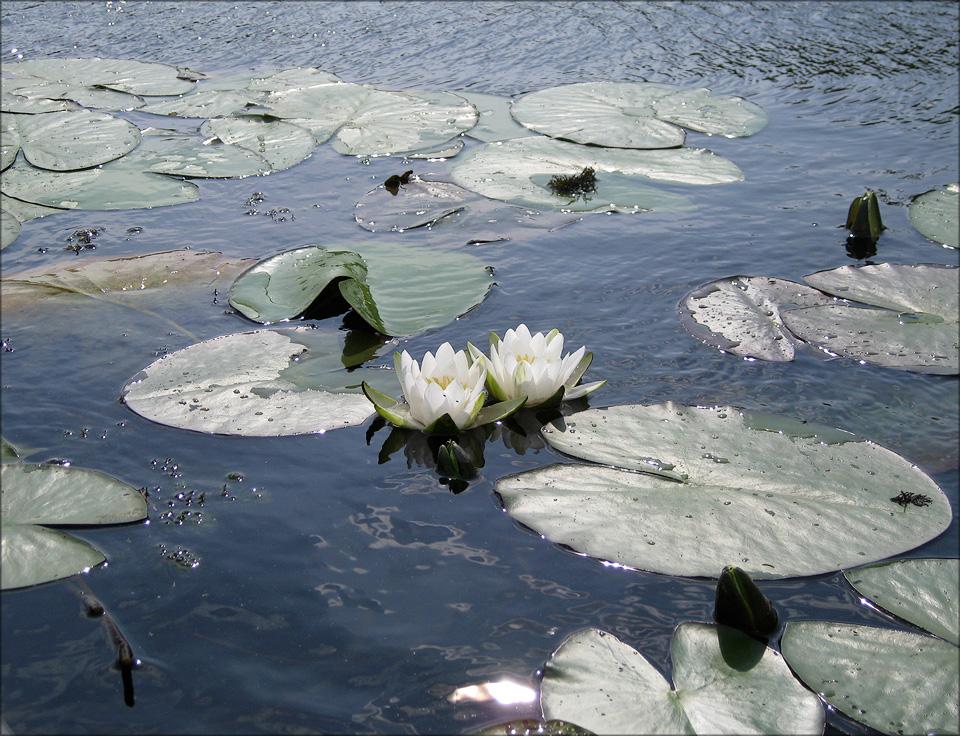 """фото """"лилии"""" метки: природа,"""
