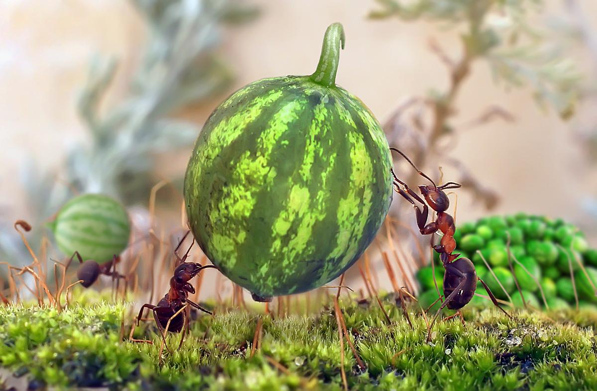 """фото """"Уборка урожая"""" метки: юмор, макро и крупный план, фотомонтаж, макро, муравей, насекомое"""