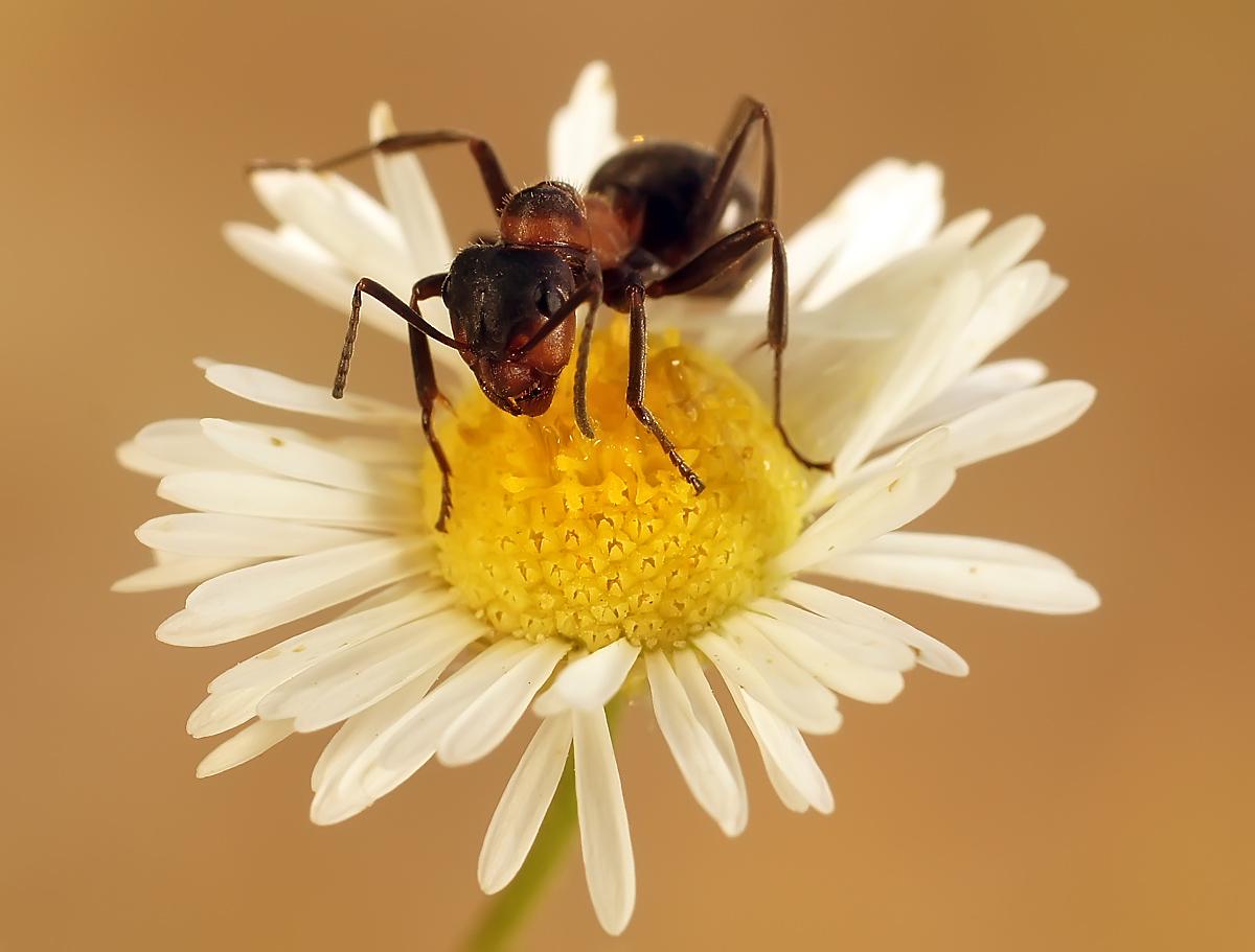 """фото """"На ромашке"""" метки: макро и крупный план, природа, макро, муравей, насекомое"""