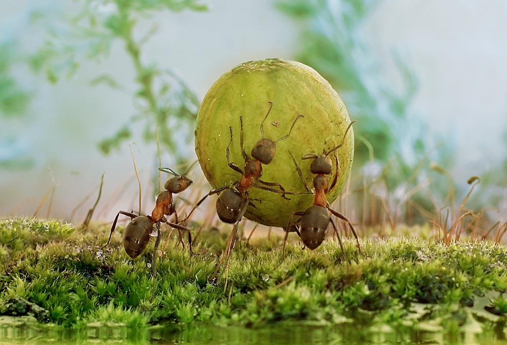 """фото """"Весело взяли ,дружно понесли."""" метки: макро и крупный план, природа, фотомонтаж, макро, муравей"""
