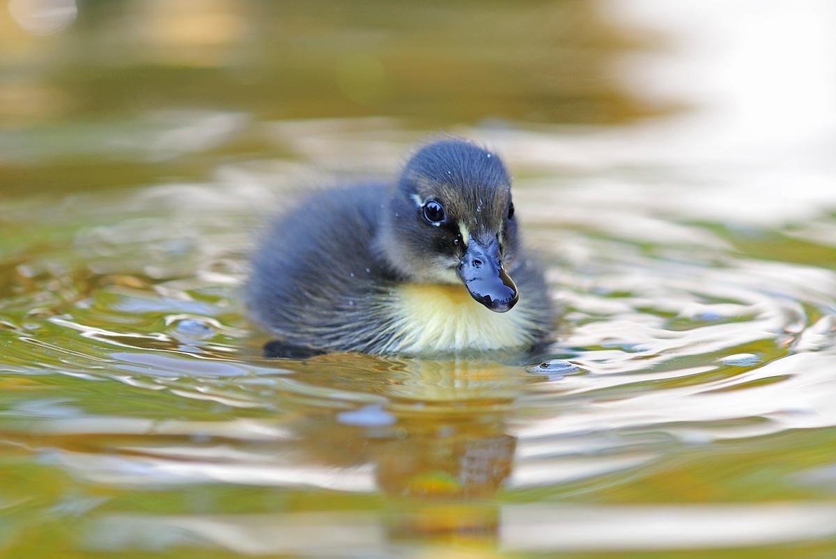 """фото """"Goose"""" метки: природа,"""