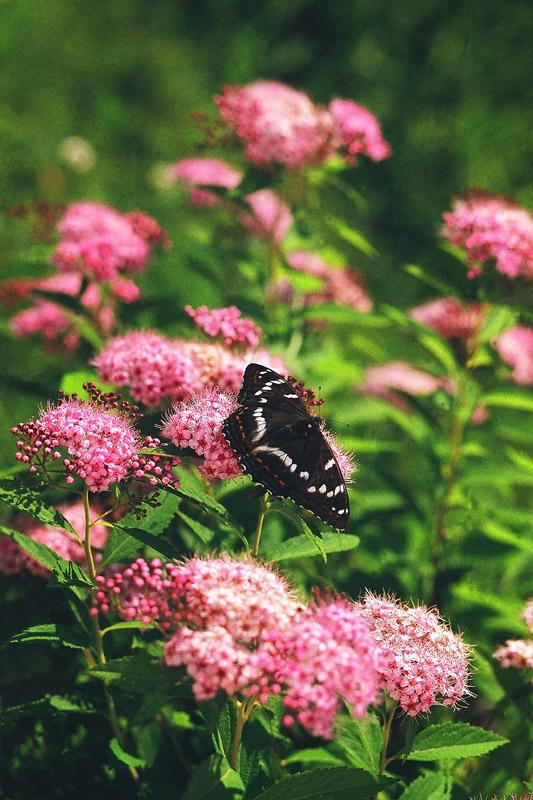 """фото """"Летняя"""" метки: природа, Подмосковье, лето, насекомое, цветы"""