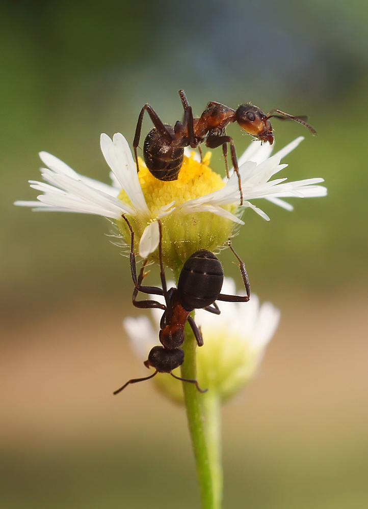 """photo """"***"""" tags: macro and close-up, nature, ant, insect, summer, макро"""