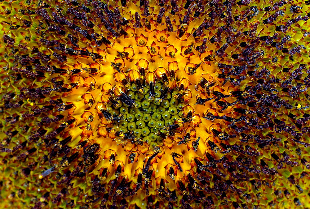 """photo """"The Sunflower Heart..."""" tags: nature, macro and close-up,"""