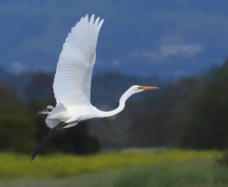 """photo """"White heron"""" tags: nature,"""