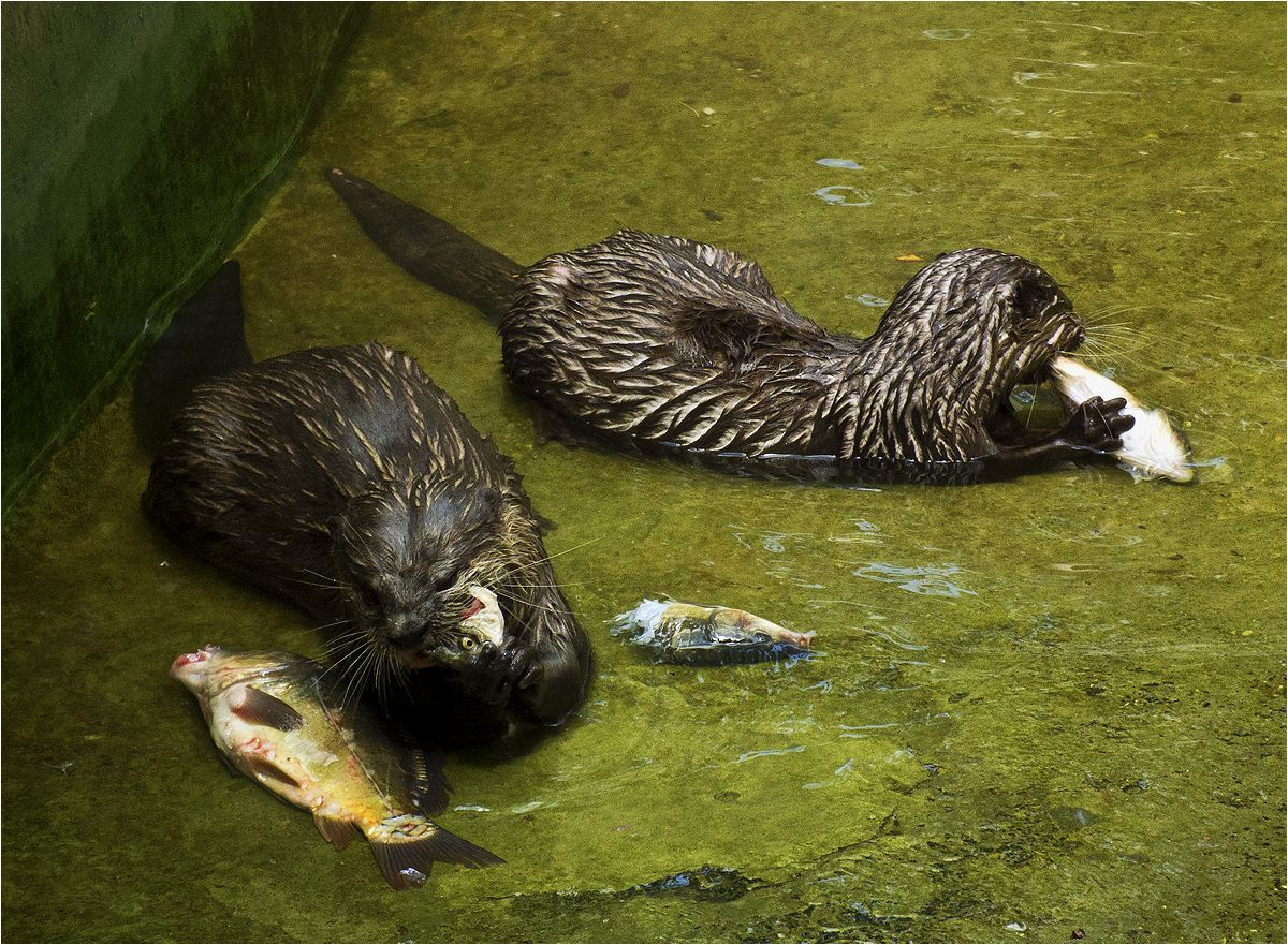 """photo """"Fish day"""" tags: nature, otters, выдры"""
