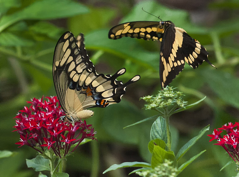 "фото ""Tiger Swallowtail Butterfly Courtship"" метки: природа, butterfly, courtship, Северная Америка, насекомое"