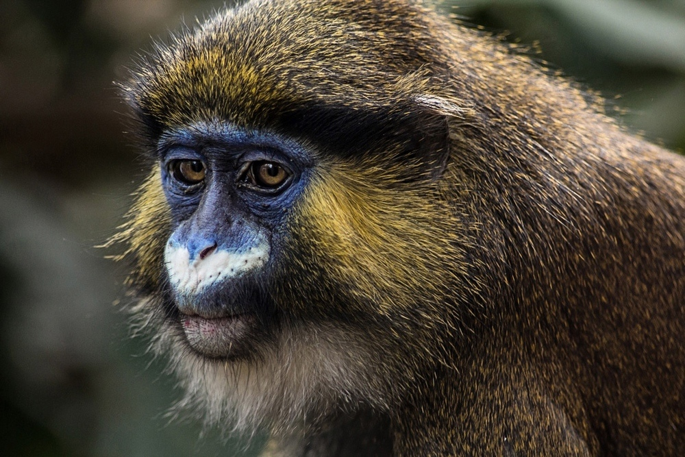 "photo ""Cercopithecus cephus"" tags: nature, Cercopithecus cephus, Monkey, animals, wild animals"