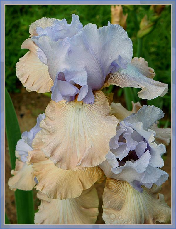 "photo ""Happy Birthday!"" tags: nature, flowers, summer, Ирис"