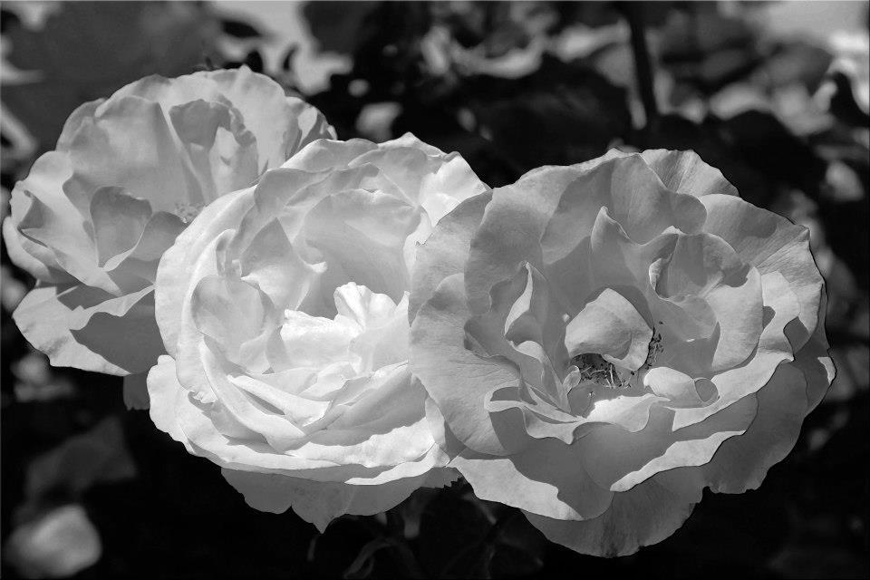 """photo """"Shades Of Gray"""" tags: nature, macro and close-up, black&white,"""