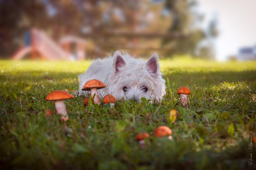 """фото """"***"""" метки: , грибы, лето, подосиновики, собака"""