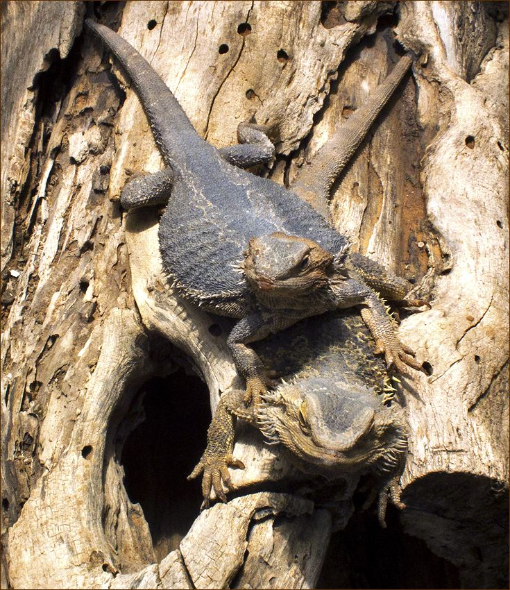 "photo ""Do not pry, you golliwog !"" tags: nature, жабовидная ящерица"