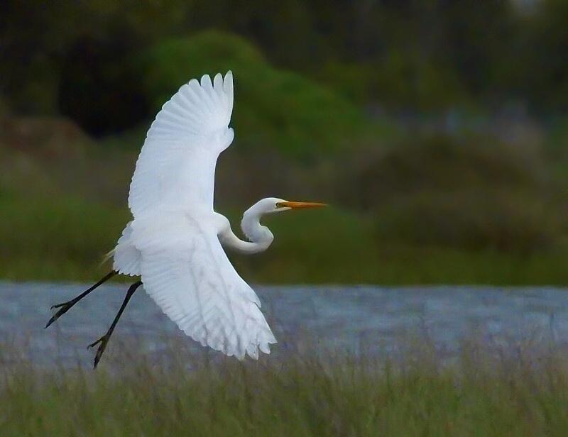 "фото ""Egret"" метки: природа,"