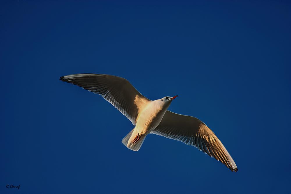 "фото ""Flying gull"" метки: природа,"