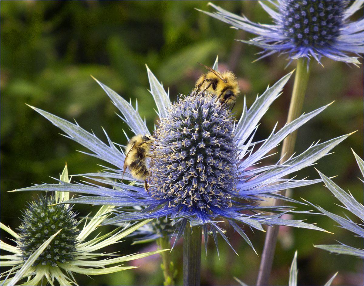 """фото """"Колючий мед"""" метки: макро и крупный план, bees, пчёлы"""