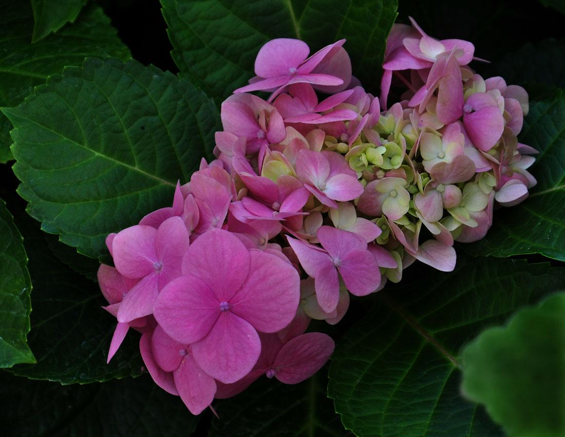 """фото """"Гортензия"""" метки: природа, цветок Гортензия"""