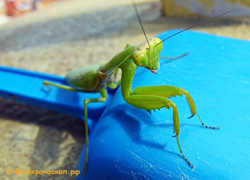 """фото """"Богомол"""" метки: макро и крупный план, богомол, насекомое"""